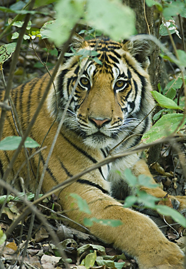 tiger in bush